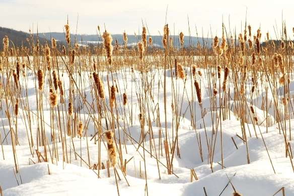 A Cattail Marsh after Heavy Snow