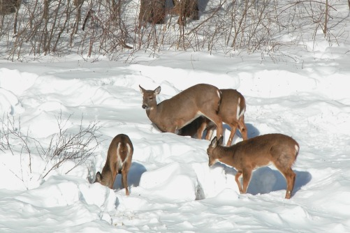 Image result for deer pawing ground