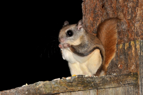 FlyingSquirrel17June12#096E3