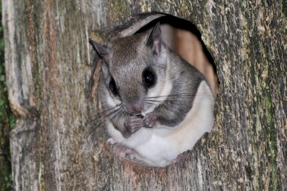FlyingSquirrel26June11#056E3