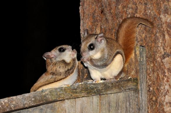 FlyingSquirrels17June12#095E