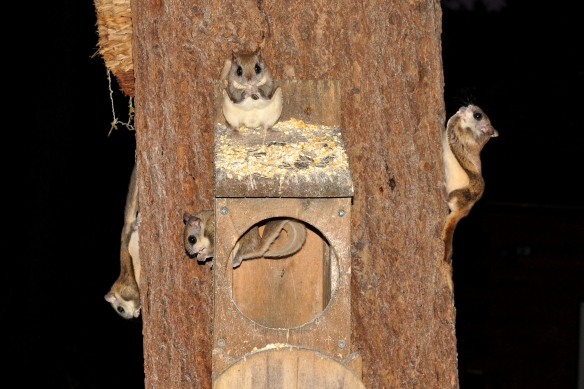 FlyingSquirrels29June12#016E