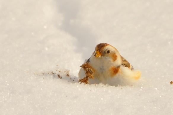 SnowBunting1Jan13#142E