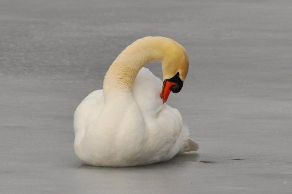 Swan8Mar12#069E2
