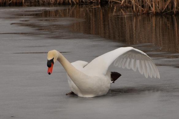 Swan8Mar12#100E