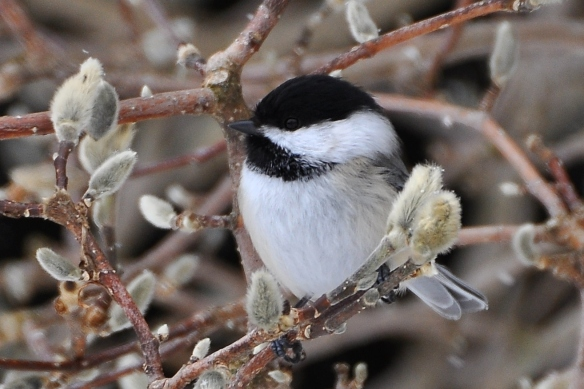 Chickadee3Mar13#073E