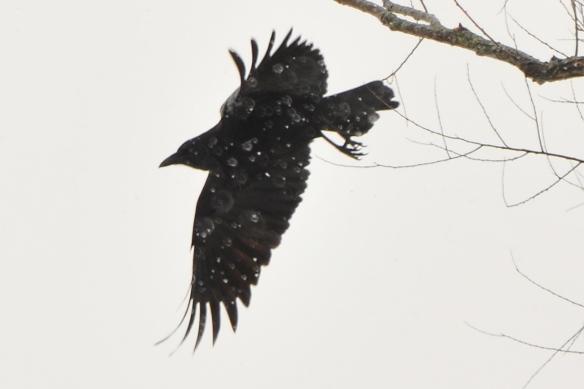 Crow28Feb13#124E