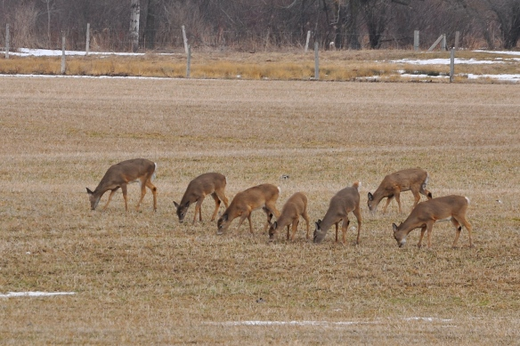 Deer29Mar13#003E