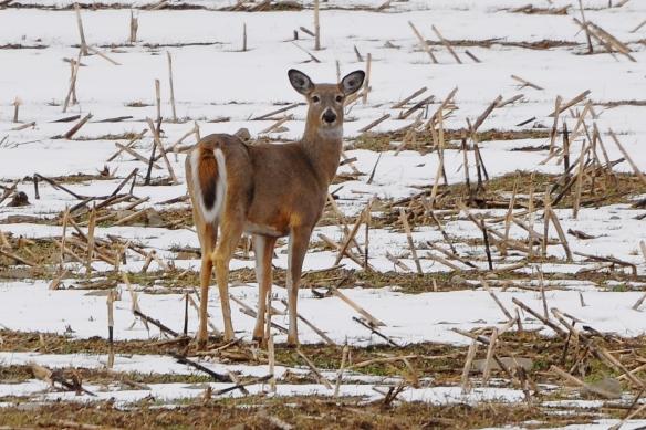 Deer29Mar13#045E