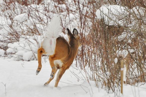 Deer2Feb13#108E