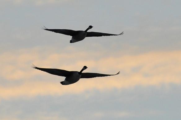 Geese10Mar13#352E2