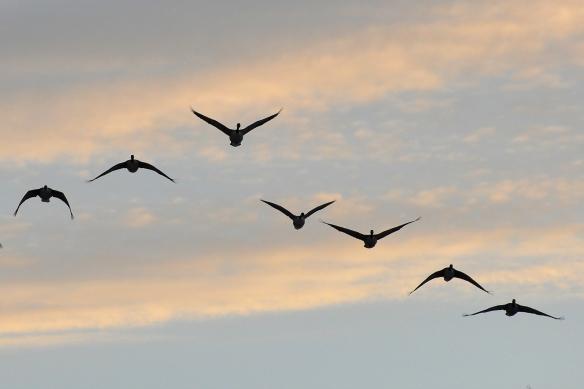 Geese10Mar13#357E2