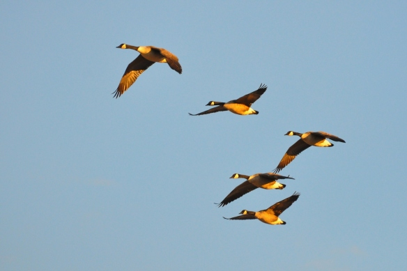 Geese10Mar13#408E