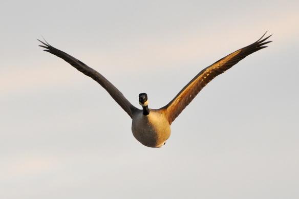 Goose10Mar13#392E