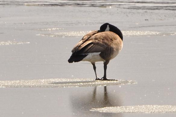 Goose28Feb12#034E3