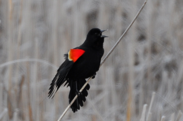 RWBlackbird30Mar13#012E