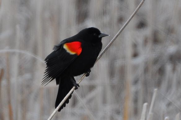 RWBlackbird30Mar13#015E