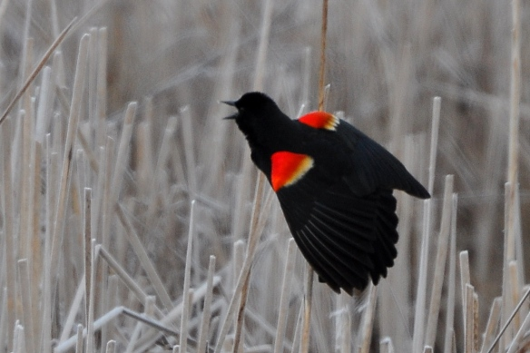 RWBlackbird30Mar13#026E