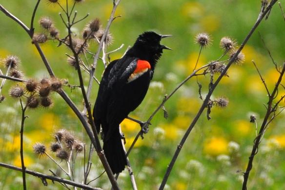 RWBlackbird3May12#068E