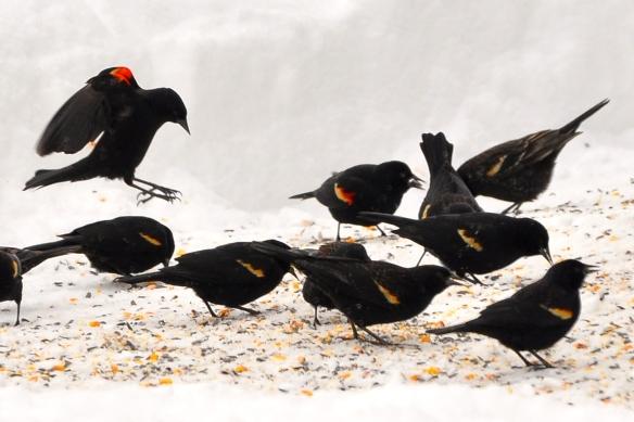 RWBlackbirds23Mar13#072E