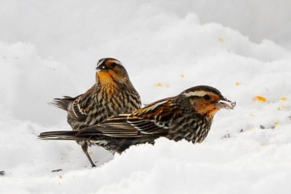 RWBlackbirds23Mar13#084E