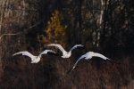 snowgeese30mar13116e1
