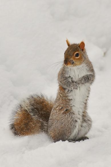 SquirrelGray28feb13#016E