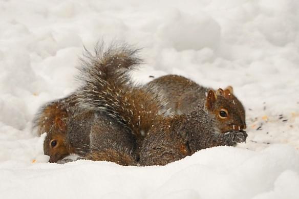SquirrelGray28Feb13#026E