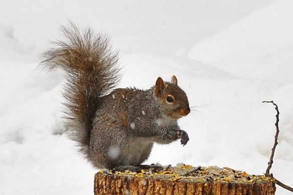 SquirrelGray28Feb13#031E