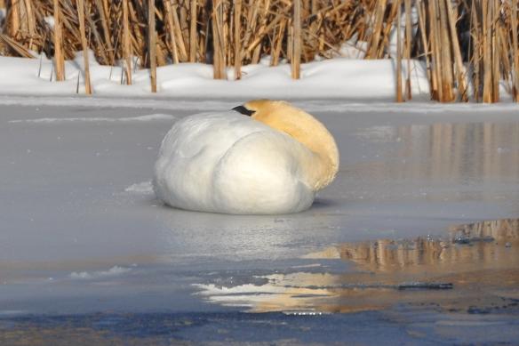 Swan9Mar13#057E