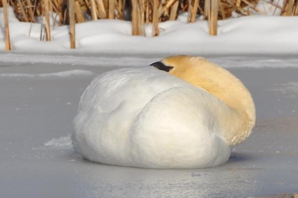 Swan9Mar13#058E