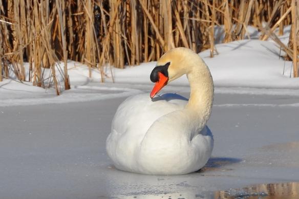 Swan9Mar13#068E