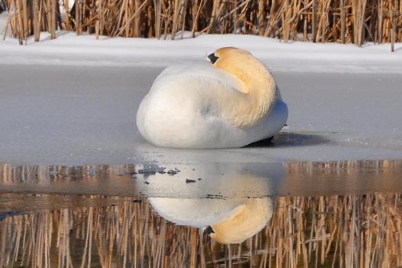 Swan9Mar13#082E