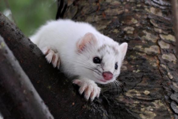Weasel15Mar11#9E5