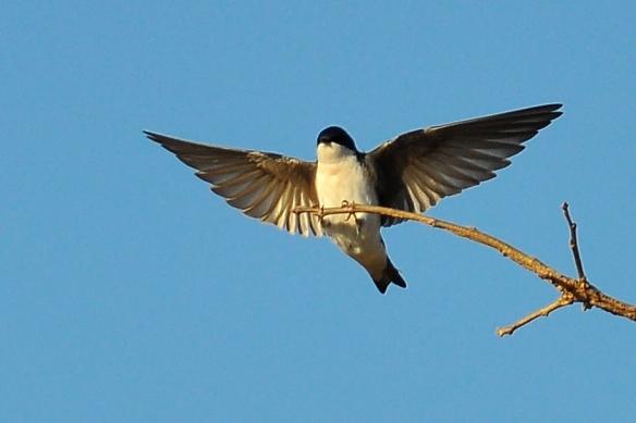 TreeSwallow22Apr13#189E
