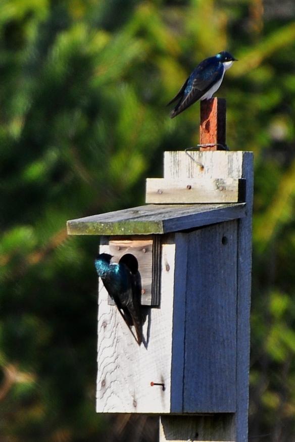 TreeSwallows17Apr13#043E