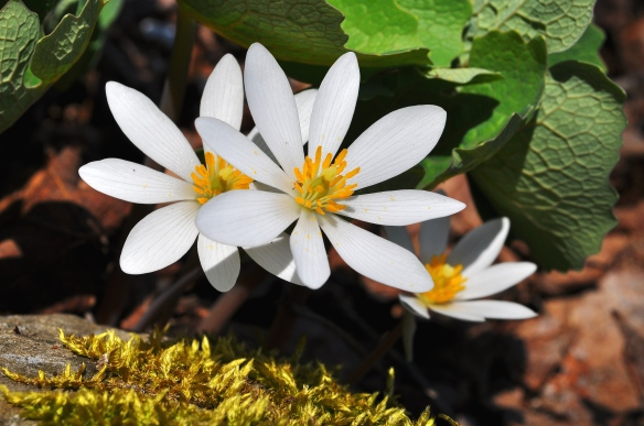 Bloodroot2May13#074E