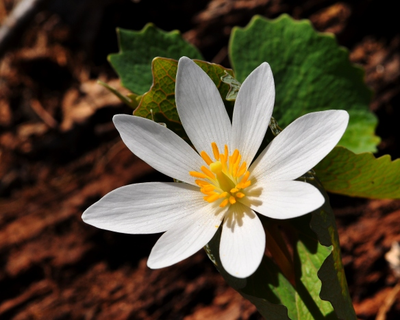 Bloodroot2May13#083E