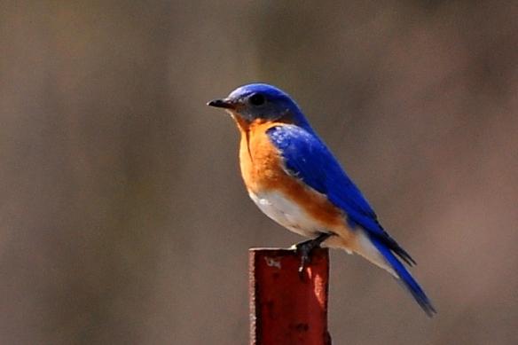 Bluebird17Apr13#009E