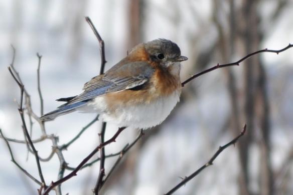 Bluebird23Jan11#1E3