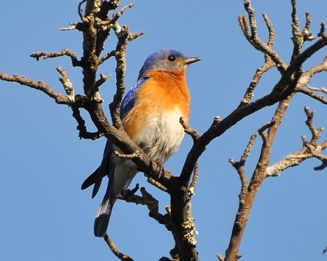 Bluebird6May13#028E