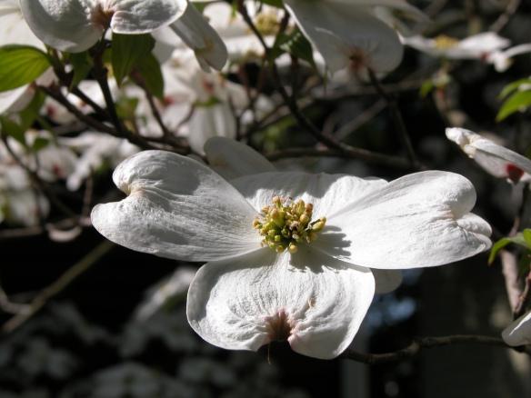 FloweringDogwoodFl5