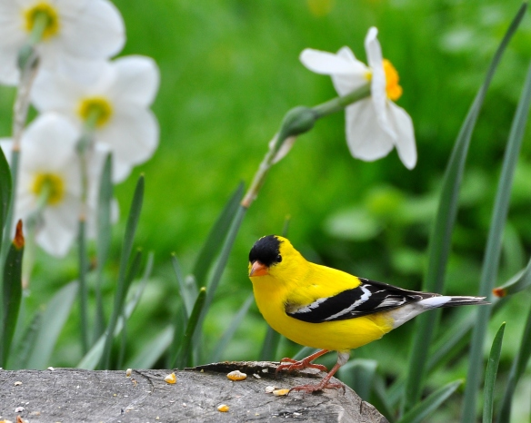 Goldfinch11May13#026E