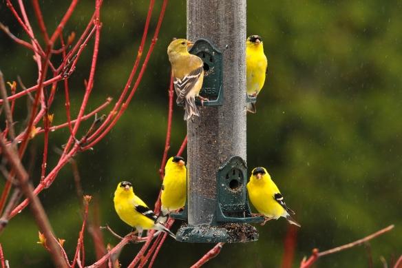 Goldfinches23Apr12#181E
