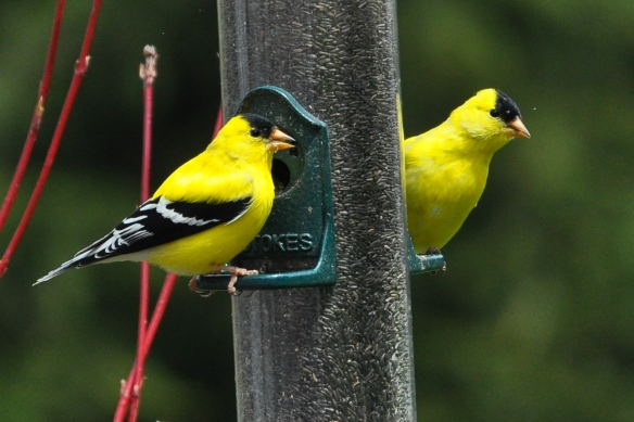 Goldfinches28Apr12#131E