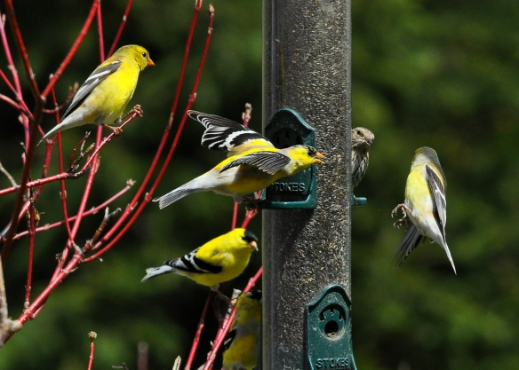 Goldfinches28Apr12#170E2crop5x7