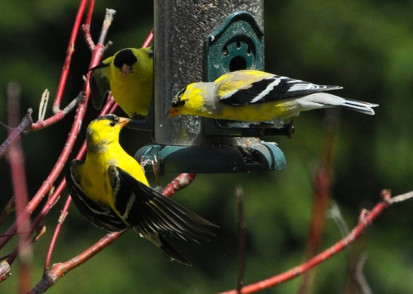 Goldfinches28Apr12#182Ecrop5x7