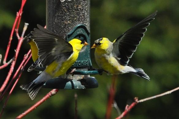 Goldfinches28Apr12#208E3