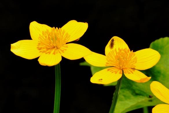 MarshMarigold5May13#080E