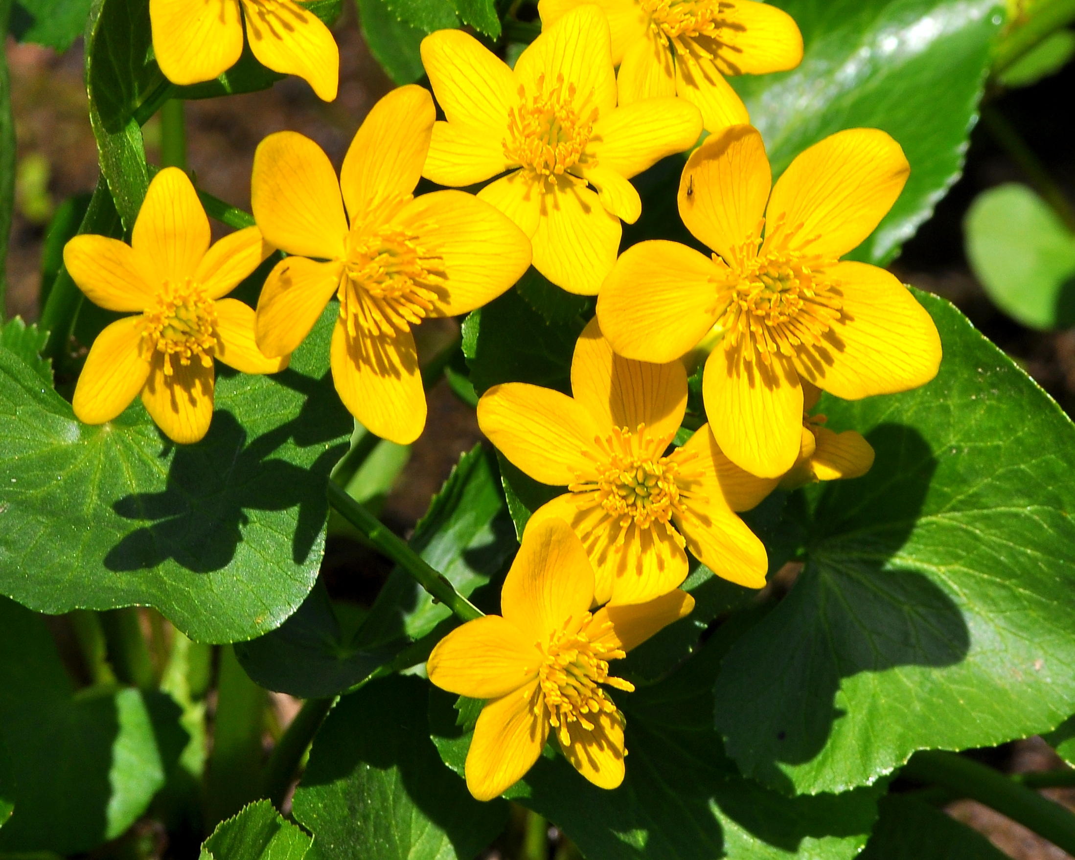 Early spring wildflowers marsh marigold nicks nature pics early spring wildflowers marsh marigold mightylinksfo Image collections